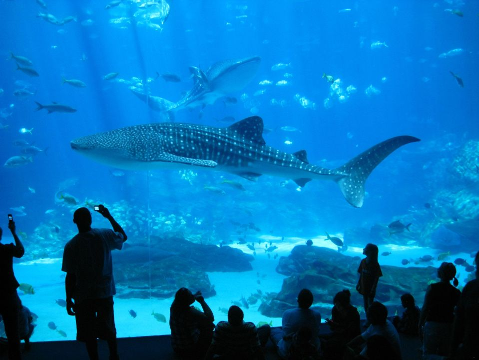 Whale Shark Swimming By