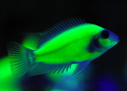 Genetically Engineered Bioluminescent Cichlid