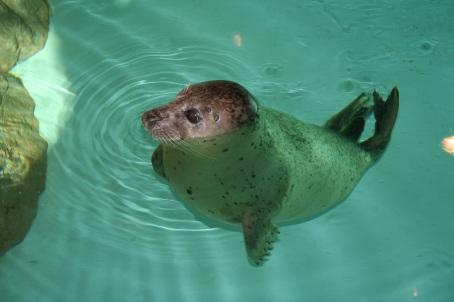 Maritime Aquarium Harbor Seal