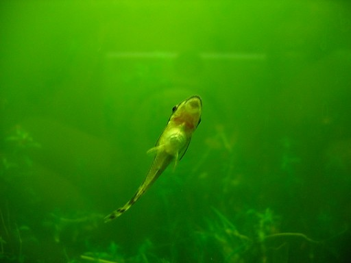 Otocinclus Affinis Algae Eater