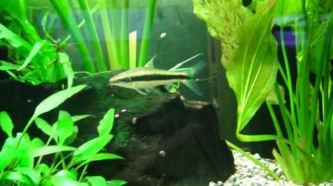 The Siamese Algae Eater Hanging Out Around Plants