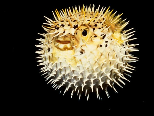 A Fully Inflated Pufferfish