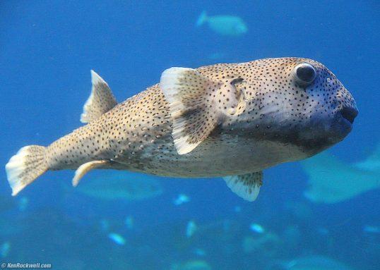 A Hawaiian Breed of Pufferfish