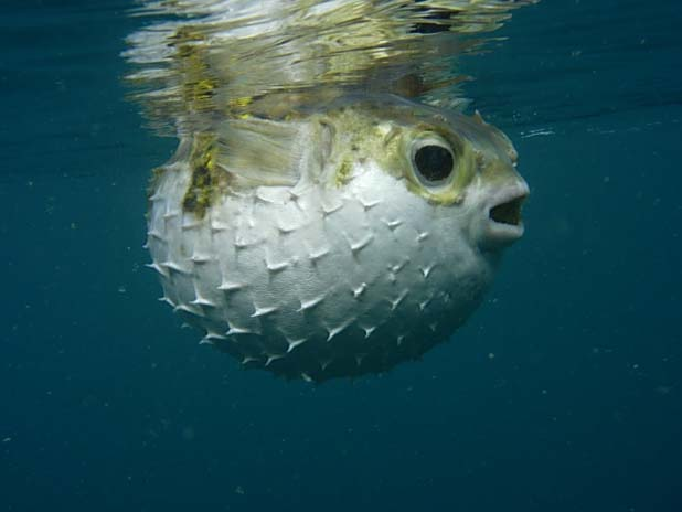 The Globefish or Prickly Toadfish