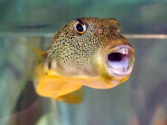 Guinea Fowl Pufferfish