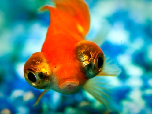 A Goldfish with Telescoping Eyes