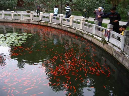Chinese Pond Full of Goldfish