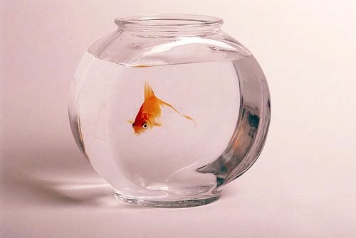 A Goldfish in a Classic Fishbowl