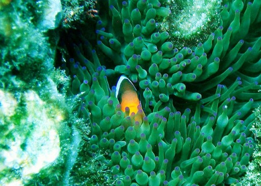 Clownfish Hiding in an Anemone