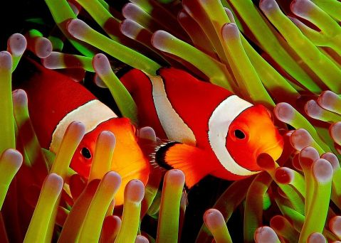 Two Clownfish in an Anemone