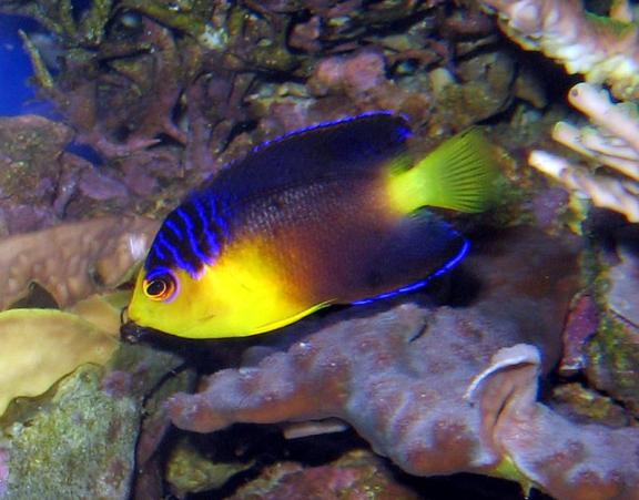 Nahackyi's Angelfish