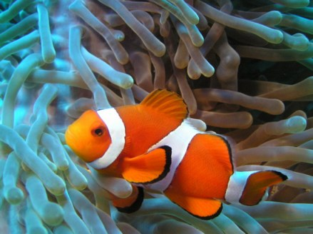 A Clownfish Hanging Out in an Anemone