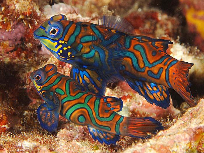 Two Mandarinfish in a Pacific Ocean Reef