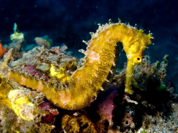 A Spiny Seahorse Blends in with Nearby Coral