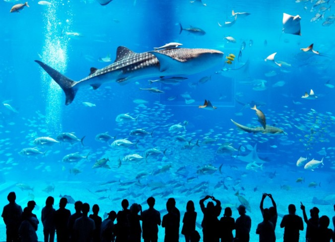 The world's Largest Fish, the Whale Shark, at the Kuroshio Sea Exhibit