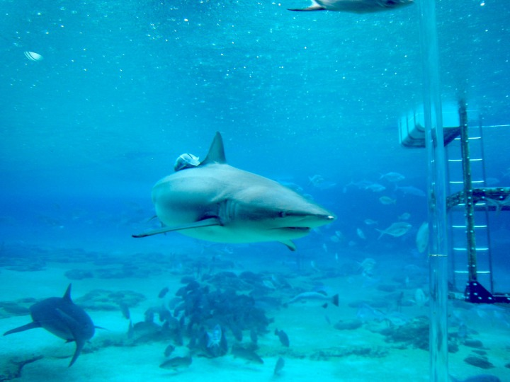 A Shark in Japan's Kuroshio Sea Exhibit