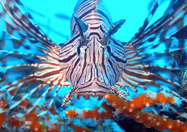 Lionfish have Tentacles Above and Below their Mouths