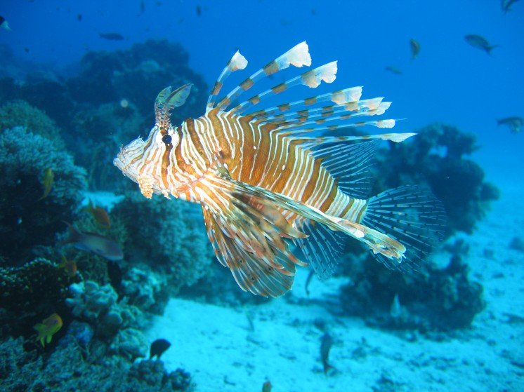 A Lionfish in a Coral Reef