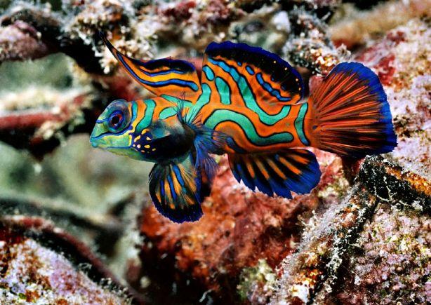 A Close up of the Synchiropus splendidus or Mandarinfish