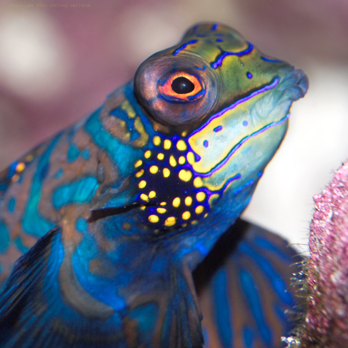The Head of a Mandarinfish