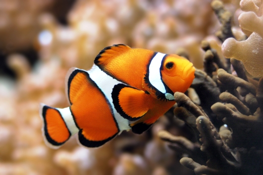 A Closeup Shot of a Clownfish