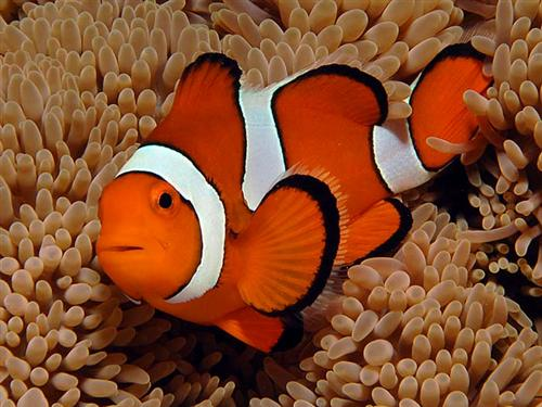 The Bold Orange, Black, and White Colors of a Clownfish