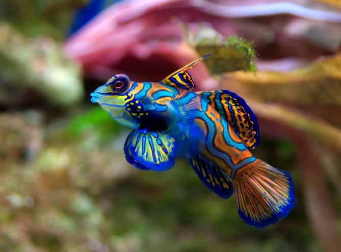 The Mandarinfish
