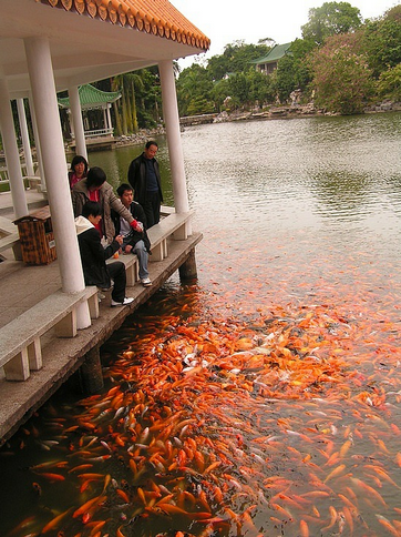 Koi Gathering for Food