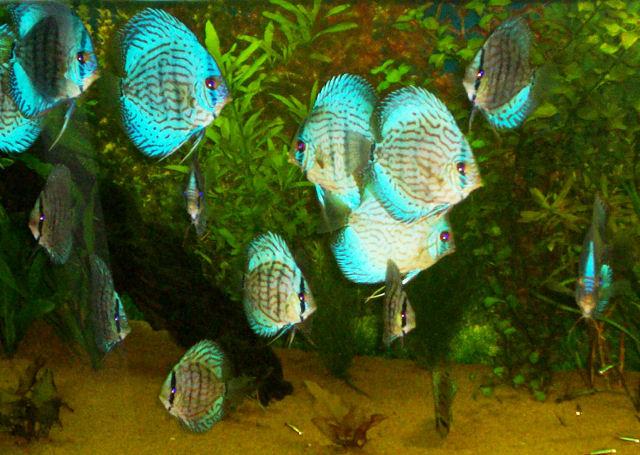 School of Discus Fish