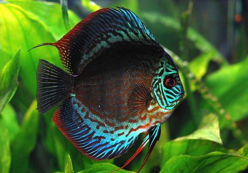 Amazonian Discus Fish