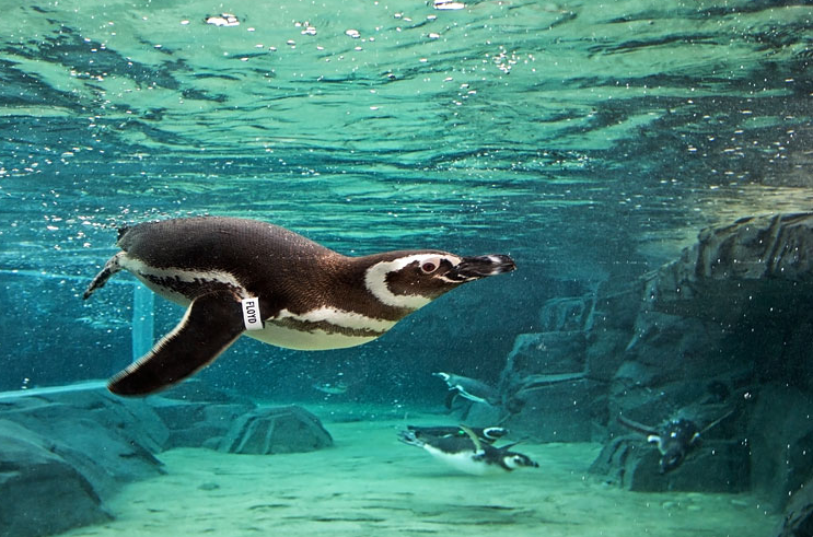 Penguins at the Aquarium of the Pacific