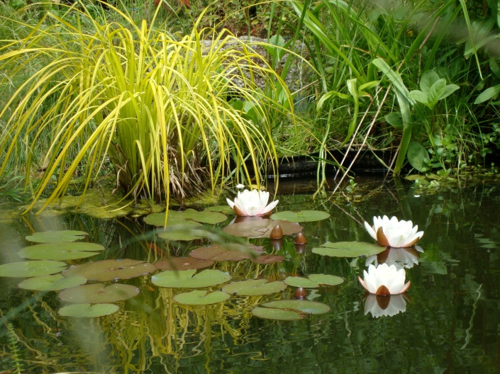 Water lilies in a wildlife pond