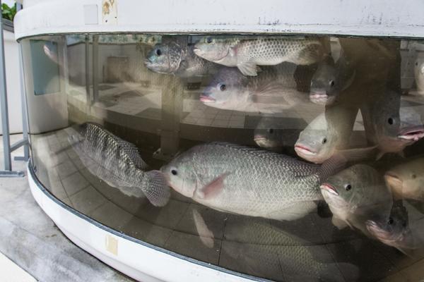 Tilapia Fish Farm