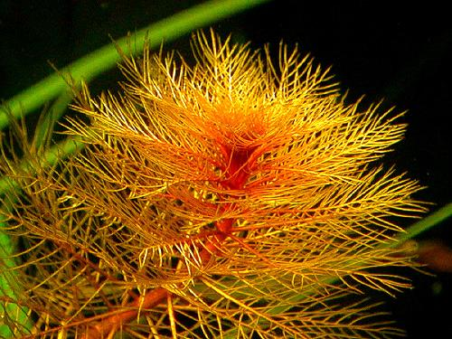 Red Watermilfoil