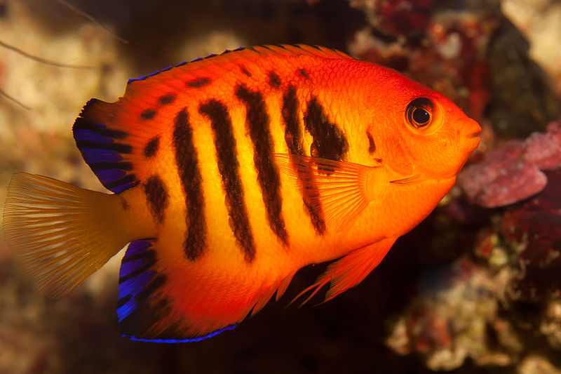 Flame Angel Fish