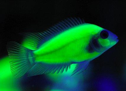 Could bioengineered glowing fish change the aquarium for Glow in the dark fish tank