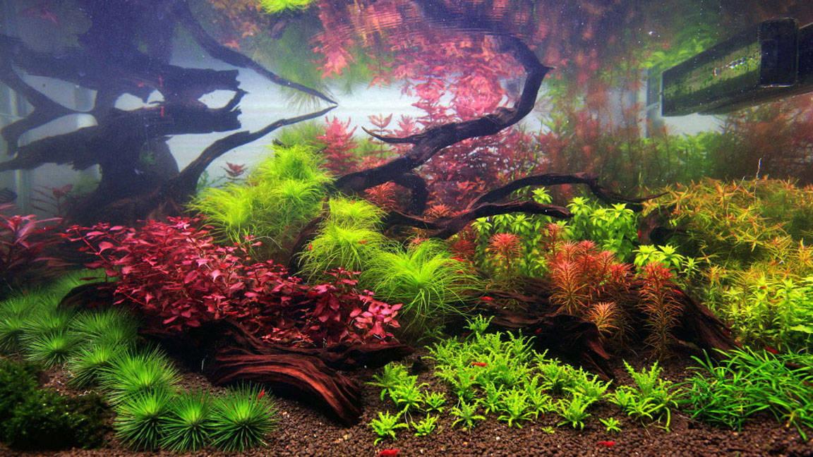Going dutch the intricate beauty of dutch style aquariums for Plante aquarium