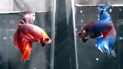 Breeding Fish