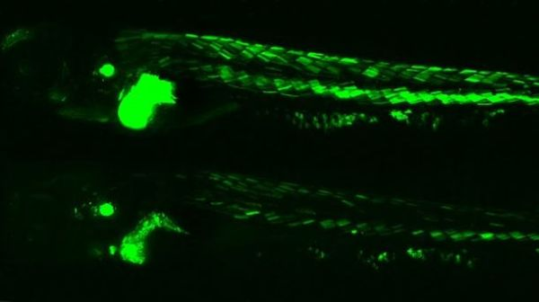 Glow-in-the-dark Zebrafish