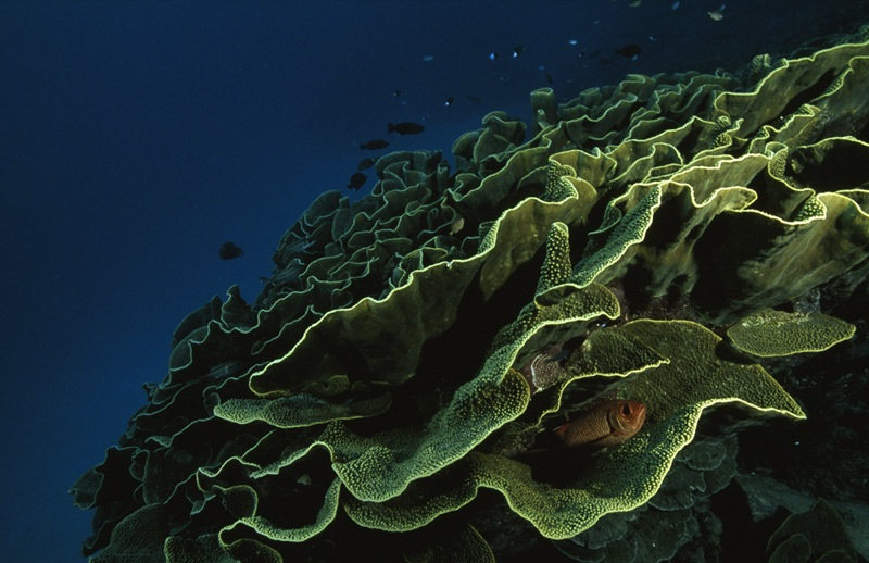 Cabbage Coral