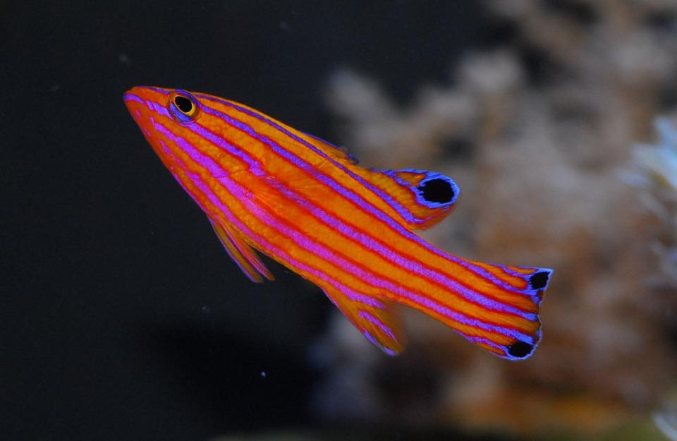 Candy Basslet for Saltwater Aquarium