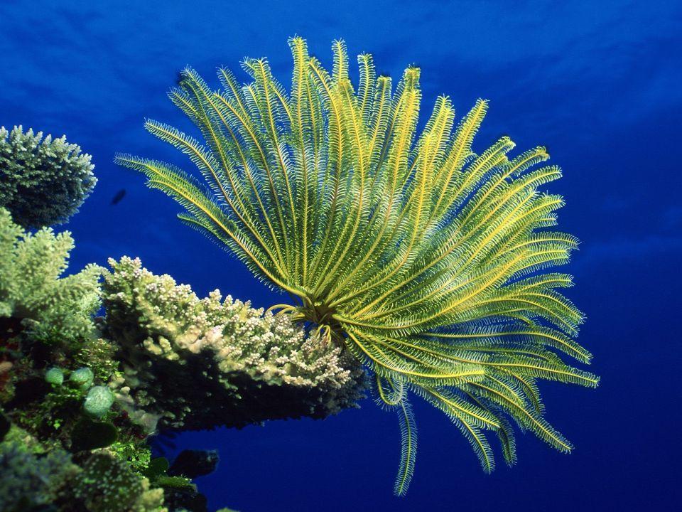 Crinoid Coral Sea