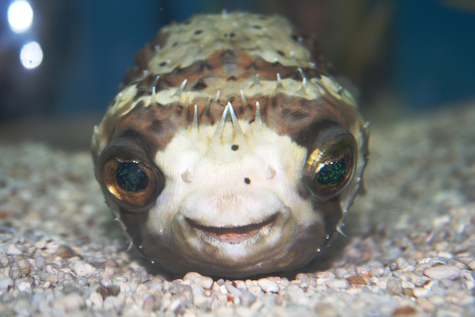 Happy Pufferfish for Saltwater Aquariums