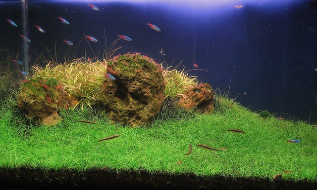 Sanzon Iwagumi with Tetras and Carpet Plants
