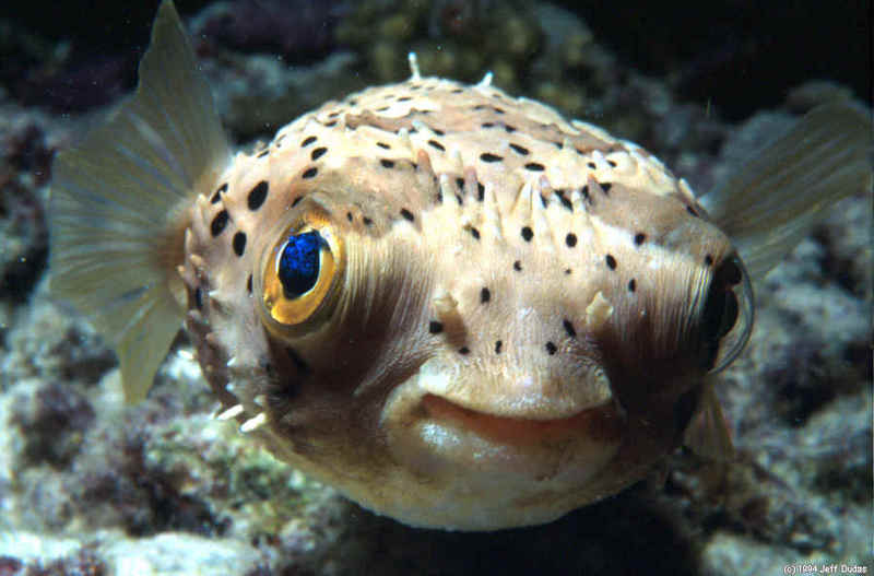 Pink Spotted Pufferfish