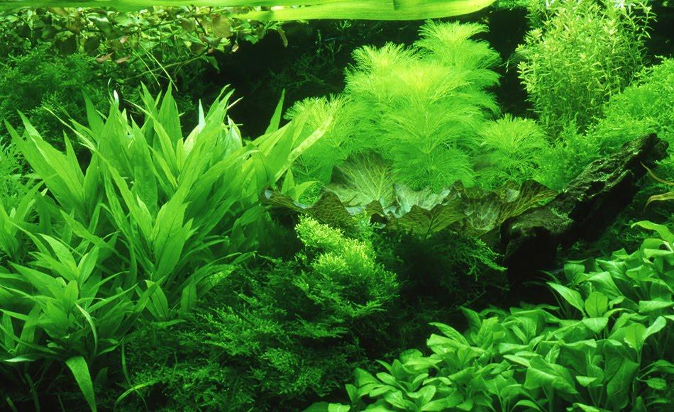 Verdant Dutch Style Aquarium