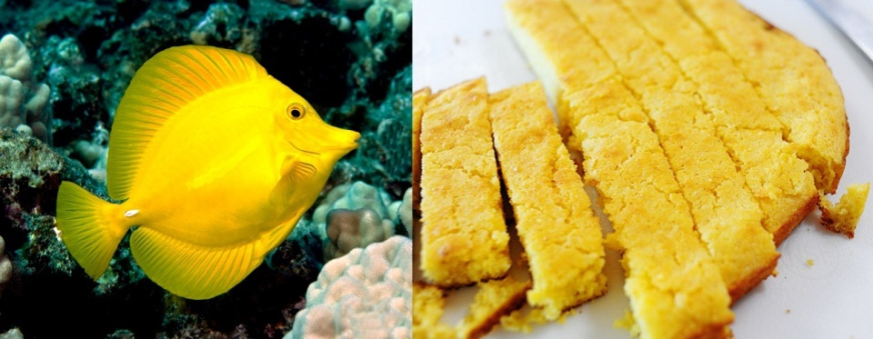 Cornbread and Yellow Tang for Saltwater Aquarium