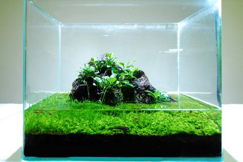Wabi-Kusa with Carpet Moss