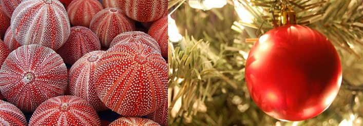 English Channel Sea Urchins as Ornaments