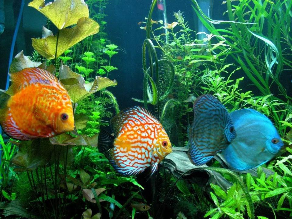 Freshwater Discus Fish